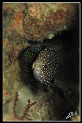 long fin comet fish in Anita's Reef (Similan National Par... by Adriano Trapani 